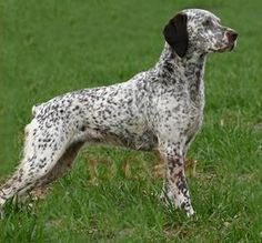 Bourbonnais Pointer Unique Dog Breeds, Rare Dog Breeds, Popular Dog Breeds, Curly Coated Retriever, Braque Du Bourbonnais, Hunting Dogs, Hunting Gear, Terrier, Rare Dogs