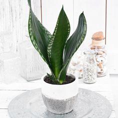 Sansevieria trifasciata 'Silver Flame' is part of Plants - Sansevieria Trifasciata, Sansevieria Plant, Best Indoor Plants, Air Plants, Potted Plants, Cactus Plants, Succulent Gardening, Succulents Garden, Planting Flowers