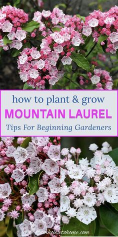 How To Grow Shade Loving Mountain Laurel | I love this shade loving shrub that is evergreen and has beautiful flowers. Find out all the details on how to grow Mountain Laurel (Kalmia latifolia) in your backyard garden. | Shade Perennials Partial Shade Perennials, Shade Flowers Perennial, Shade Loving Shrubs, Shade Shrubs, Flowers Perennials, Shade Plants, Vegetable Garden For Beginners, Gardening For Beginners, Perennial Bushes