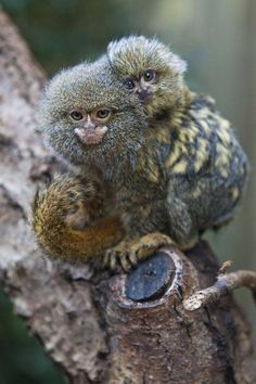 The pygmy marmoset is a small New World monkey native to rainforests of the western Amazon Basin in South America. It is notable for being the smallest monkey and one of the smallest primates in the world at just over 100 grams.