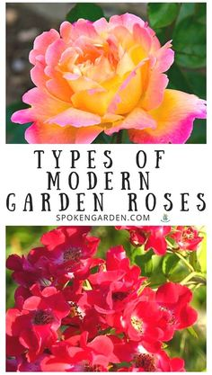 Can you identify the different types of Roses in your garden? Listen to this podcast to learn the basics about the various types of Modern Garden Roses and how they differ from each other in Spoken Garden's DIY Garden Minute Ep. Floribunda Roses, Shrub Roses, Autumn Garden, Spring Garden, Planting Roses, Garden Roses, Flower Gardening, Rose Cultivation, Ground Cover Roses