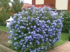 Plumbago Large clusters of deep blue flowers, make this a tough and hardy plant. Grow it over a fence or plant a row for an informal hedge.  Plant into well conditioned soil with water crystals and controlled release fertiliser added. Drought tolerant and frost hardy.   Position: Full sun (its REALLY drought tolerant and tough!) Prune after flowering to control shape. Forgetting to prune may lead to an overgrown shrub. Otherwise pest and disease free!