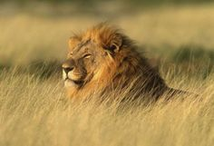 Wildlife in Afrika! Kinds Of Cats, Sculpture Projects, Art And Craft Design, Nature Wallpaper, Big Cats, Habitats, South Africa, Beast, Photos