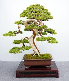 Hai Yama Ten 2015: Juniperus chinensis, Chinesischer Wacholder