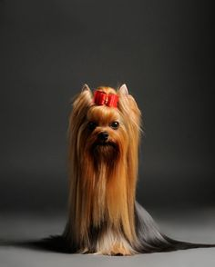Yorkshire Terrier » Personality Dog Photographer | The McCartneys Dogs opawz.com supply pet hair dye,pet hair chalk,pet perfume,pet shampoo,spa....