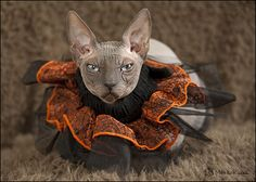A shot of Baci from our Halloween photo challenge on Pets.ca   www.pets.ca/forum/showthread.php?t=78865 #cats #photography