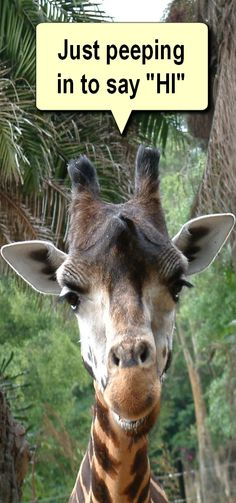 Giraffe is a very special kind of animal. Its the closest relative to long head dinasours that were found in ancient times before human race existed. Giraffe Quotes, Animal Quotes, Giraffe Humor, Funny Giraffe Pictures, Cute Pictures, Animals And Pets, Baby Animals, Cute Animals, Baby Giraffes