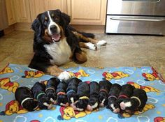 And the proudest parents. | 23 Reasons Bernese Mountain Dogs Are The Champions Of Our Hearts
