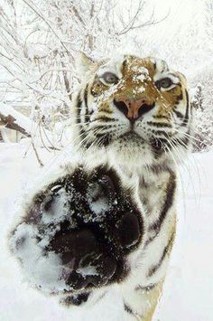 Apparently, tigers aren't keen on paparazzi either . . . note the paw at the front of the frame.