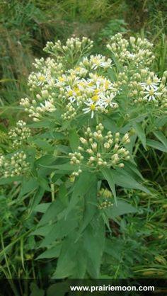 Prairie Moon Nursery :: Seeds :: Aster umbellatus (Flat-topped Aster)