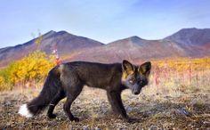 Close-ups of a rare silver fox by Steffen Sailer