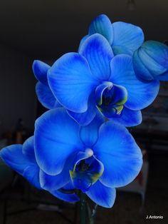 Blue orchid - Orquidea azul  A gift symbolizing a rare and beautiful love. .......................................................... Um presente simbolizando um amor raro e belo.