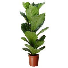 Ficus lyrata (fiddle-leaf fig) now sold at ikea. Ficus Elastica, Ficus Lyrata, Potted Plants, Indoor Plants, Plant Pots, Fake Plants, Green Plants, Fiddle Leaf Fig Tree, Gardens
