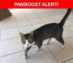 Is this your lost pet? Found in Pensacola, FL 32504. Please spread the word so we can find the owner!  Black, gray and white. Fur on the front left leg appears to be growing back from being shaven.   Near Summit Blvd & Spanish Trail