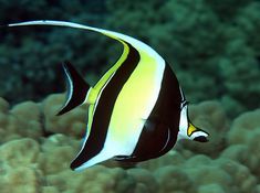 Moorish Idol  As one of the most distinctive and beautiful fish, the Moorish Idol is the only surviving member of the prehistoric fish family Zanclidae. Despite its popularity, the Moorish Idol can be difficult to keep in an aquarium because of its short life span. The fish gets its name from the Moorish people of Africa, who believed it was a talisman of good luck.