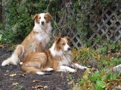 English Shepherd dog photo | ... purebred english shepherd dogs our dogs and puppies are all ukc