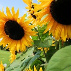Black oil sunflowers are easy to grow.