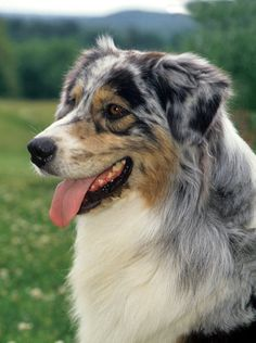 The Australian Shepherd is smart and focused, and a good Australian Shepherd can be your best friend ever, but only if you are prepared to keep him busy with dog sports. Learn all about Australian Shepherd breeders, adoption health, grooming, training, and more.