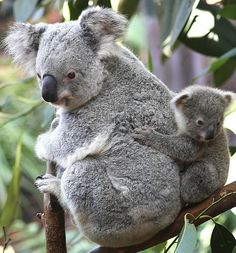 Hanging on to what she's got... Momma Koala Bear, namely...