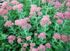 seedums - many varieties