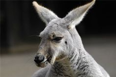 See a kangaroo up close and personal! #Australia