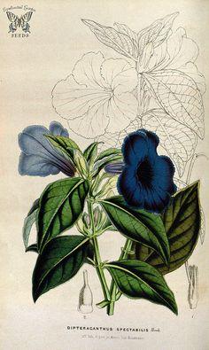Wild Petunia. Ruellia spectabilis, as Dipteracanthus spectabilis. Houtte, L. van, Flore des serres et des jardin de l'Europe, vol. 6 (1850-1851) | by Swallowtail Garden Seeds