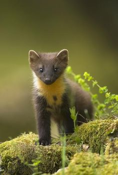 Young pine marten by Danny Green. http://www.lonelyplanet.com/europe