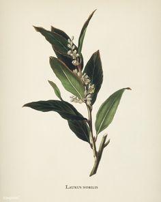 Botanical Drawings, Botanical Illustration, Botanical Prints, Laurel Tattoo, Herb Tattoo, Laurel Plant, Laurus Nobilis, Leaf Drawing, Laurel Leaves