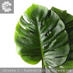 Peikonlehdet, Monstera Buxus, Plant Leaves, Plants, Plant, Planets