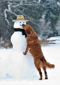 Retriever and snowman I Love Dogs, Cute Dogs, Animals Beautiful, Cute Animals, Labrador, Photo Animaliere, Irish Setter, Mundo Animal, Winter Fun