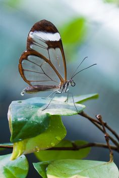 The transparent butterfly by Ymntle-Aleoni