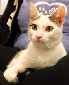 Meet Forest 33322751, an adoptable Domestic Short Hair looking for a forever home. If you're looking for a new pet to adopt or want information on how to get involved with adoptable pets, Petfinder.com is a great resource.