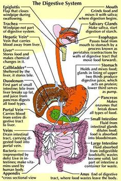 The Digestive System in an Infographic