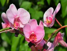 Orchid plants produce some of the loveliest flowers in the world. Make growing orchids easier by using the right techniques. Undertake the right preparations and avoid trouble when you grow orchids in the garden. Orchid Plant Care, Orchid Plants, Orchid Seeds, Orchid Varieties, Sensitive Plant, Types Of Orchids, Growing Orchids, Phalaenopsis Orchid, Flower Shops