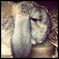 Louis, our French Rabbit