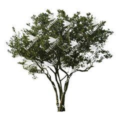 Fruitless Olive -Olea europaea -Deciduous Trees -12.7 Megapixel