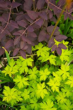 Clematis recta purpurea & Geranium 'Ann Folkard' one of the most blistering foliage combos I've ever devised ;-)