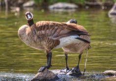Canada Goose............... http://brittrunyon.com/