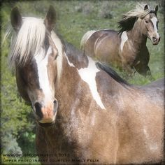 More pictures of Bandit, missing band stallion from Book Cliffs, Colorado.....Presumed dead, but I would like to believe he will return someday with a new mare and family....