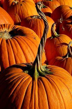 Twisty stem Pumpkin Vine, Pumpkin Field, Pumpkin Garden, Ghost Pumpkin, How To Grow Pumpkins, Planting Pumpkins, Autumnal, Fall Pumpkins, Halloween Pumpkins