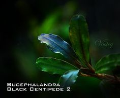 Bucephalandra Black Centipede 2 | Tomasz Wastowski | Flickr Freshwater Aquarium Plants, Planted Aquarium, Aquascaping Plants, Water Plants, Bonsai, Fresh Water, Plant Leaves, Fungi, Black