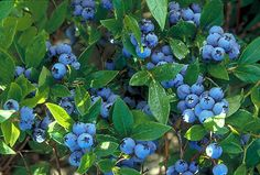 Blueberry cultivars recommended by UofM Extension services for northern gardens. Cultivars listed in bold are University of Minnesota releases and include date of introduction.