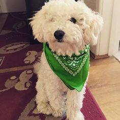 Each month, we are going to have a new dog mascot. This month, it is 🐾 Here he is, wearing the green bandana for our campaign! Green Button, Bandana, Campaign, Positivity, Buttons, Motivation, Dogs, How To Wear, Animals