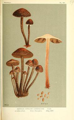 Gravure ancienne champignon - Gravures, illustrations, dessins, ... http://informations-documents.com/
