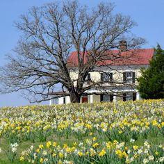 Spring gardens on #mossmountainfarm #joy #vanbloem #daffodils #sharethebounty