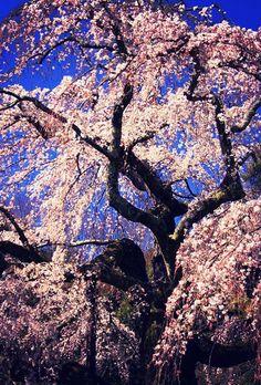 長興山のしだれ桜 #sakura #CherryBlossom Spring Photography, Nature Photography, Beautiful World, Beautiful Images, Francis Hallé, Flowering Trees, Autumn Trees, Nature Pictures, Belle Photo