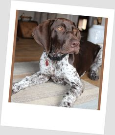 Luka at nearly 4 months ...just toooooo cute August 2014 German Shorthaired Pointer