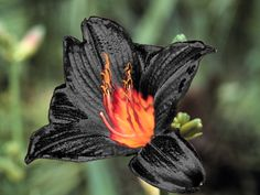 Fire Lily...wow, I would love to see one. would be awesome around Halloween if they were in season.