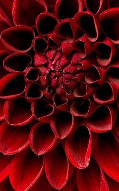 Deep Red Dahlia - Ana Rosa