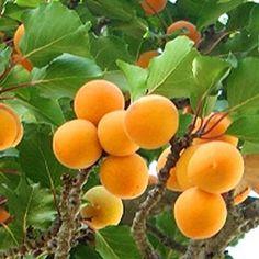 Apricot. Prunus armeniaca